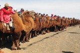 camel race start